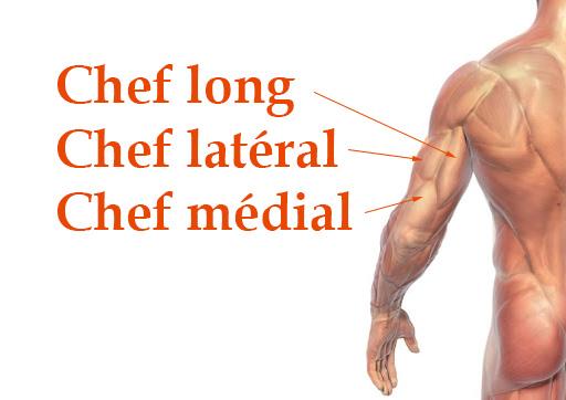 anatomie de l'arrière du bras - triceps
