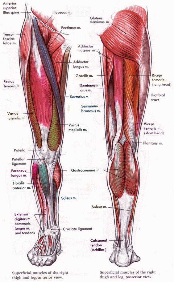 anatomie de la jambe et ses muscles