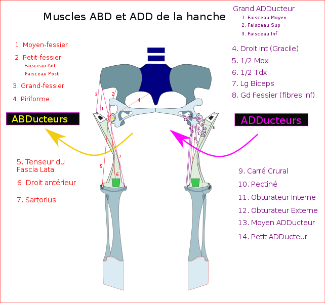 mouvement de la hanche